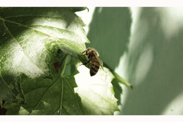 Cosmic Honey bee on leaf 01