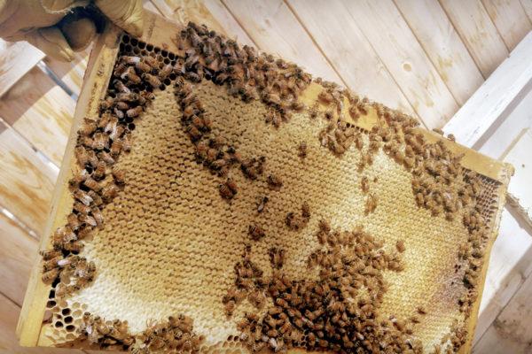 Cosmic Honey brood chamber capped honey on deep frame 01