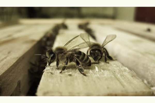 Cosmic Honey macro bees 01